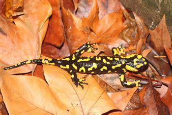 Joger Nevada salamandra 250 n salamandra salamandra