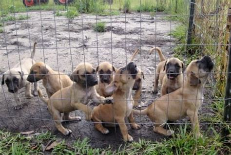 black cur puppies black cur info temperament puppies facts pictures