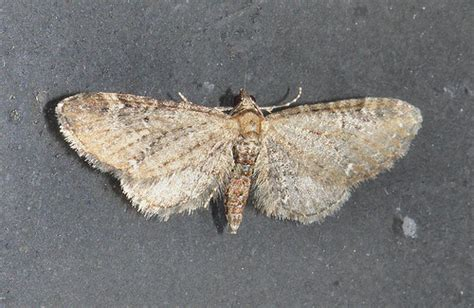 common pug moth probably common pug flickr photo