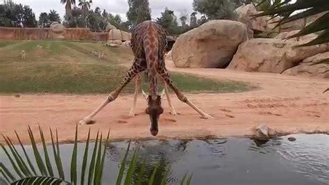 imagenes de jirafas tomando agua jirafa bebiendo agua youtube