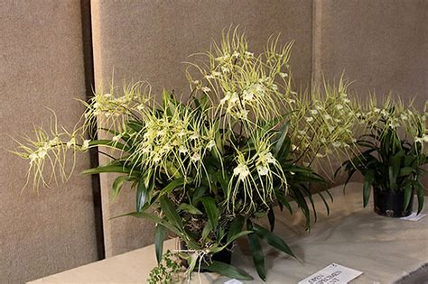 Indoor Tropical Foliage Plants - plants amp flowers 187 brassia verrucosa