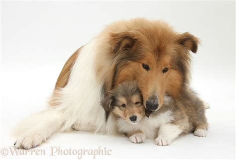 puppy puppy puppy collie and puppy photo wp38304