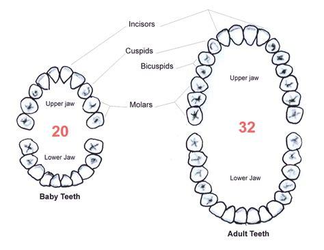 losing diagram diagram of baby teeth anatomy organ