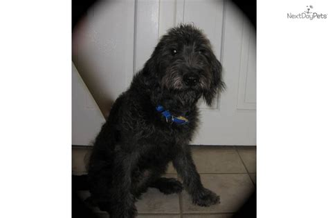 the dog house little rock roofie house broken labradoodle puppy for sale near