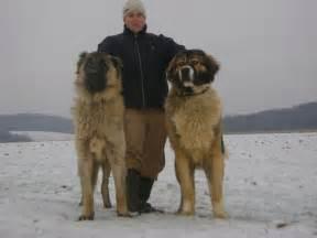 Caucasian ovcharka dog info temperament puppies training pictures