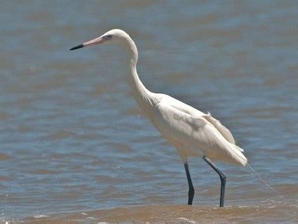 great egret identification all about birds cornell lab