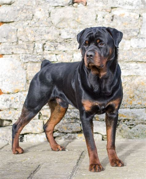old fashioned dog grooming pictures for sale old fashioned german rottweiler male birmingham