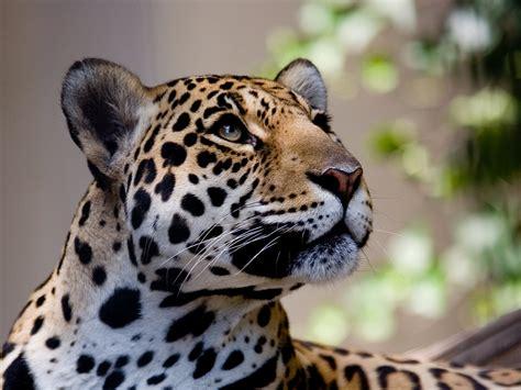 imagenes de jaguar hd luipaard schattige dieren