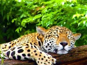 Jaguars In Belize Distinct Vacations Travel