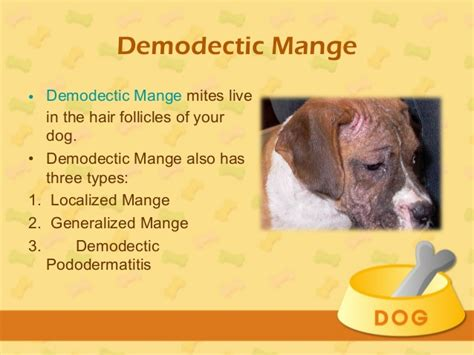 demodectic mange in dogs treatment for mange in dogs