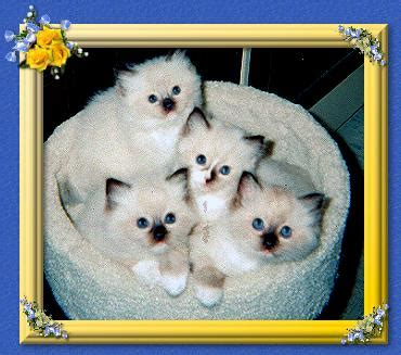 Low Shedding Cats by Low Shedding Cats Picture Image By Tag
