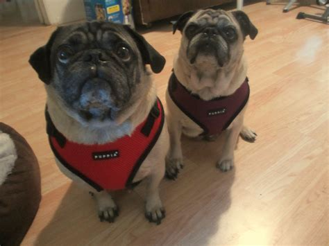 pug collar or harness image gallery pug harness