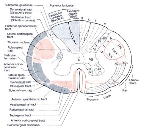 Spine After Section by Neuroanatomy Review