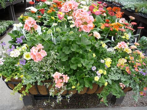 bedding plants sun loving bedding plants hyams garden accent store