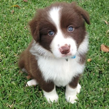 brown border collie puppies brown border collie dogs www pixshark images galleries with a bite