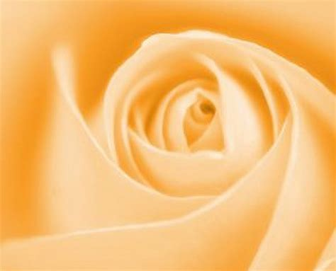 soft orange soft orange rose photo free download
