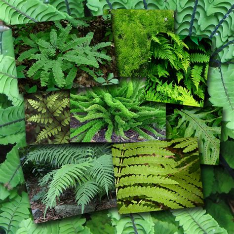 how many species of ferns are there f f info 2017