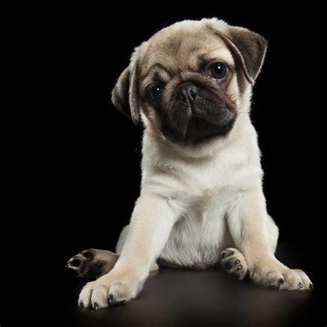 pug seizure symptoms 317 best images about pugs pugs more pugs on pugs pug and