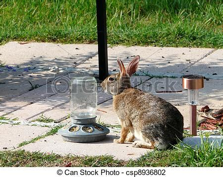 stock photo of wild rabbit eating corn wild rabbit
