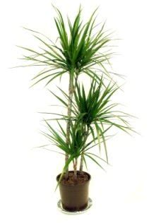Caring For Flowers In A Vase Madagascar Dragon Tree Dracaena Marginata Picture