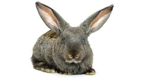 Why Do Dogs Go Blind Rabbit Facts Willasark Com