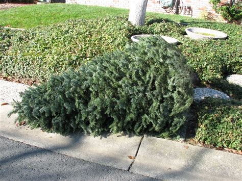 waste management christmas trees waste management schedule tree recycling carlsbad ca patch