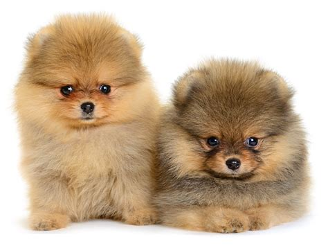 pomeranian puppy care puppy buyer etiquette pomeranian facts care pictures