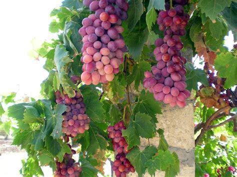 Buah Segar Bidara Oval Cina buah anggur yang asyik slideshow pohon buah dan kebun anggur