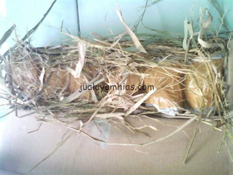 Mesin Tetas Telur Ayam Palembang galeri foto pengiriman telur ayam hias jual ayam hias