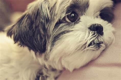 Help Comfort 17 Things All Shih Tzu Owners Must Never Forget