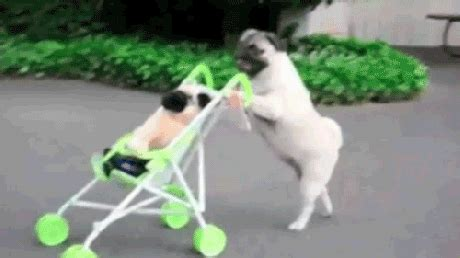 are or pugs better 11 pug gifs to make your day better