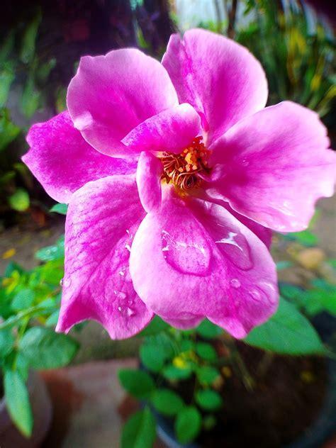 Cantik Tiara Bunga gadgetgreen arti tujuh warna bunga mawar gambar bunga