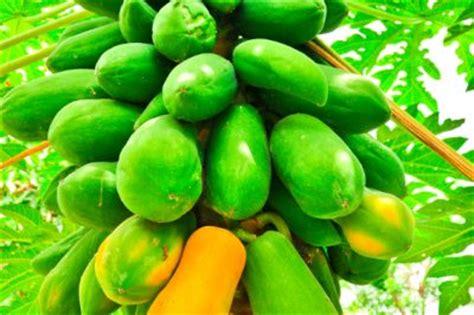 wann ist papaya reif papaya z 252 chten 187 so schaffen sie die besten bedingungen
