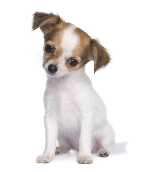 chihuahua puppy names chihuahua names that fit this breed perfectly