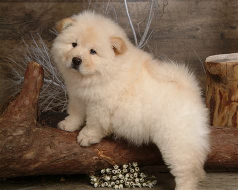 chow puppies 40 chow chow puppies pictures
