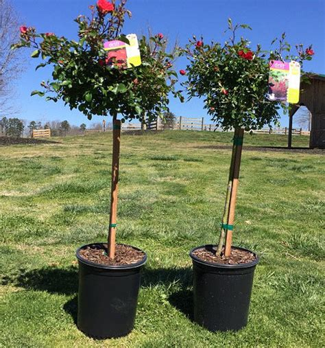 Kinsey Planters by Knockout Roses Drift Bush For Sale