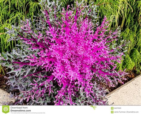 spiky purple ornamental cabbage and kale stock photo