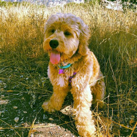 mini goldendoodles massachusetts pup rests on ma wine country goldendoodles