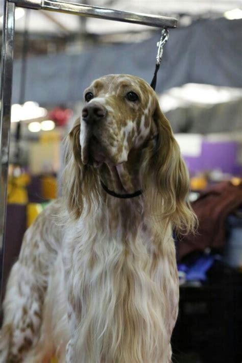 english setter dog show 187 best my favorite dog english setter images on pinterest