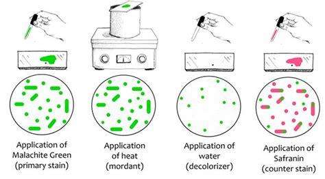 ziehl neelsen principle endospore staining principle reagents procedure and result