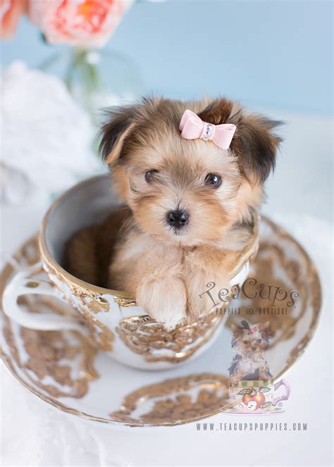 morkie puppies for sale florida morkie puppies for sale by teacups teacups puppies boutique
