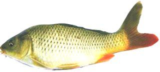 Minyak Kutus Kutus Jayapura budidaya ikan hasil penelitian ikan