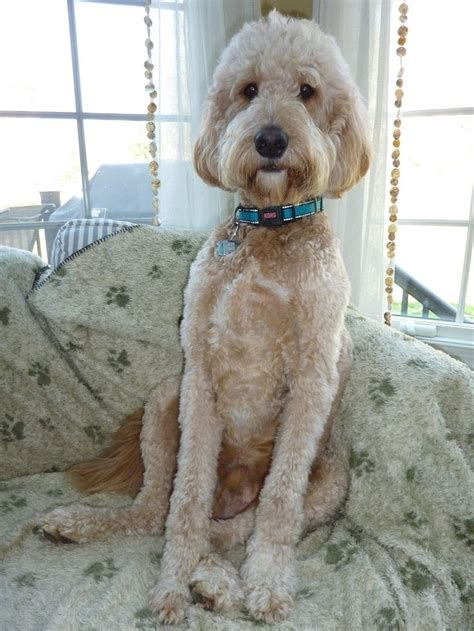 How To Cut A Goldendoodles Hair | 1000 ideas about goldendoodle haircuts on pinterest