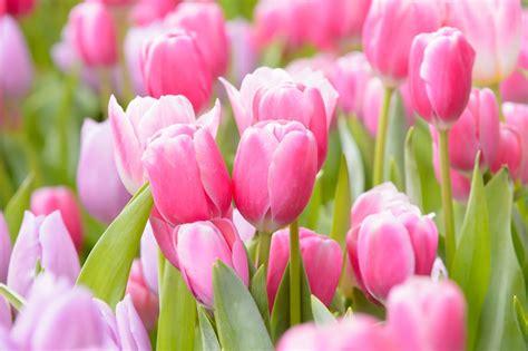 coltivare tulipani in vaso come coltivare i tulipani non sprecare