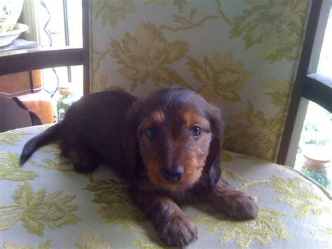 dachshund puppies for sale in oregon mini dachshund puppies for sale adoption from turner oregon marion adpost