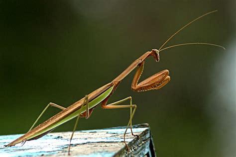praying mantis colors praying mantis by tthealer56 on deviantart