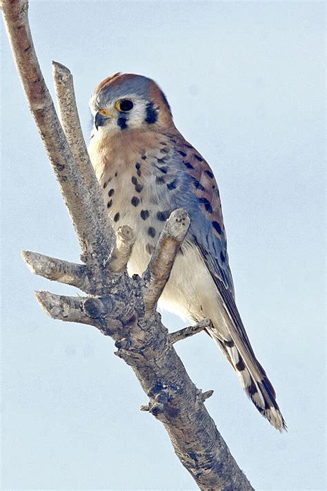 american kestrel birdwatching