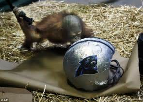 How To Make A Paper Mache Football Helmet - utah zoo orangutan picks carolina panthers as bowl