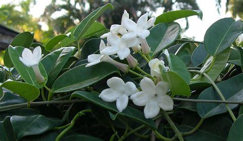 100 19 white flowering climbing vines white bryony stock photos u0026 white bryony stock
