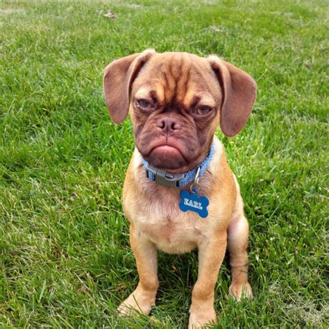 pug x great dane great dane and pug mix breeds picture